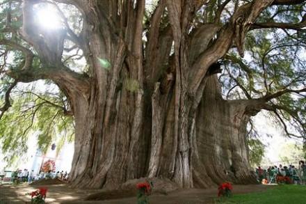 Pohon Árbol del Tule